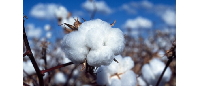 Organic vs. conventional cotton